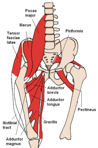 200px Anterior Hip Muscles 2 min