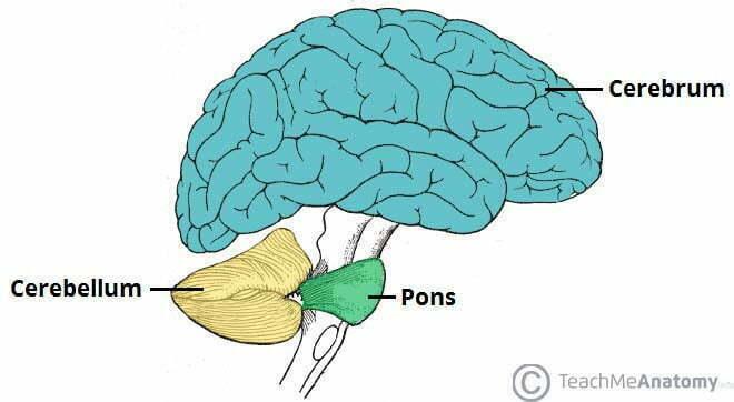 Anatomical Position Cerebellum