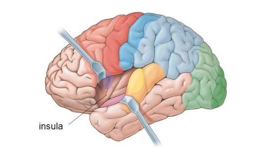 Insular cortex 1